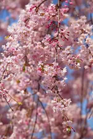 cherry blossom or japanese sakura in spring season photo