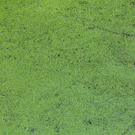 Green Duckweed covered on the water surface photo