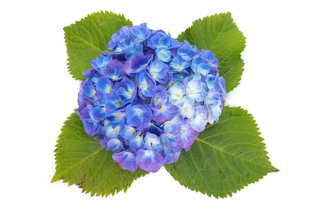 beautiful hydrangea flower isolated on white background photo