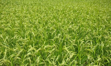 filed: green rice filed and ear of rice Stock Photo