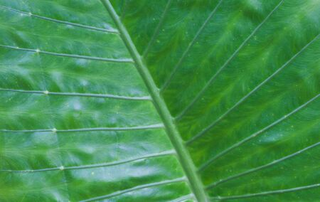 leaf texture: Close - up Natural green leaf texture and background