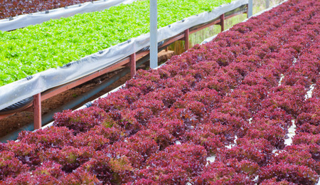 Fresh red lettuce grown in hydroponic systems.. photo