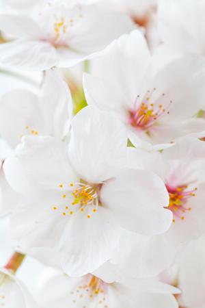 Close - up beautiful cherry blossom sakura flower photo