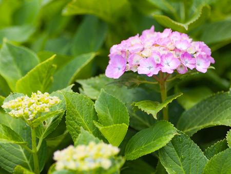 Beautiful Hydrangea macrophylla summer and autumn flower photo