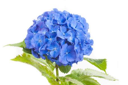 Blue Hydrangea macrophylla  flower isolated on white background photo