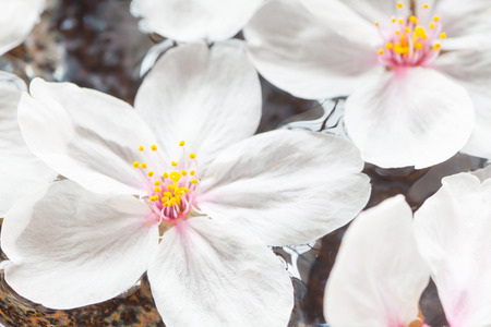 flor de sakura: Hermosa flor de cerezo flotante flor de sakura en el agua