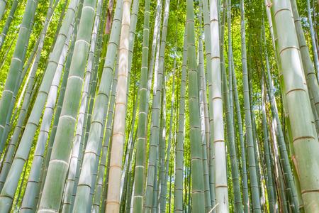 touristy: Beautiful bamboo forest at Arashiyama touristy district  kyoto