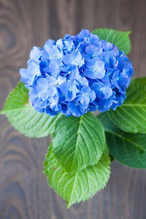 hydrangea macrophylla: Blue Hydrangea macrophylla  flower on wood table