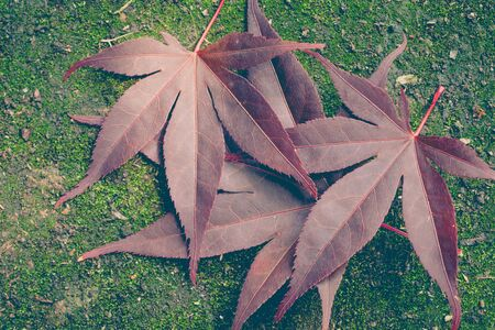 red maple leaf: Red maple leaf and green moss background Stock Photo