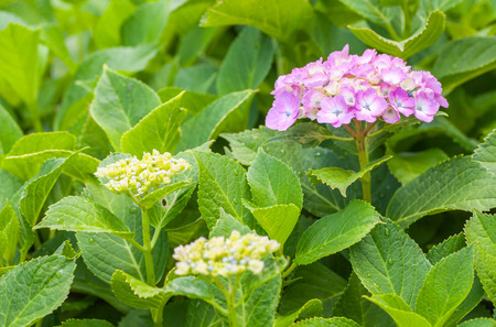 hydrangea macrophylla: Beautiful Hydrangea macrophylla summer and autumn flower