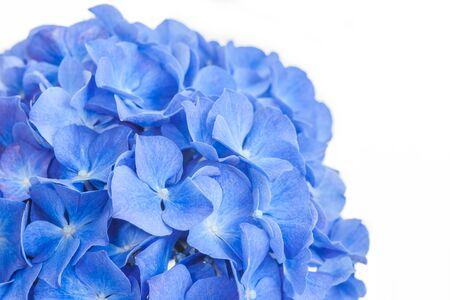 Blue Hydrangea macrophylla  flower isolated on white background Stok Fotoğraf