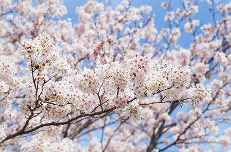 cherry blossom in japan: Beautiful cherry blossom sakura with nice blue sky