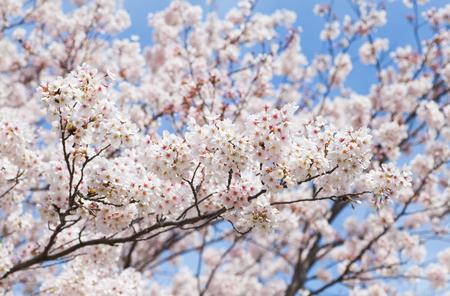 Beautiful cherry blossom sakura with nice blue sky