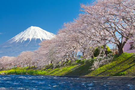 japan sky: Mountain Fuji and cherry blossom sakura in spring season