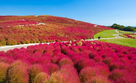 Mooie kochias heuvel in de herfstseizoen bij Hitachi park aan zee, Ibaraki prefectuur, Japan