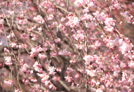 april flowers: Blurred Cherry blossom sakura , Abstract nature background