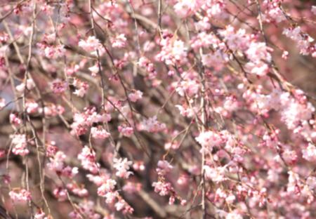 flowers background: Blurred Cherry blossom sakura , Abstract nature background