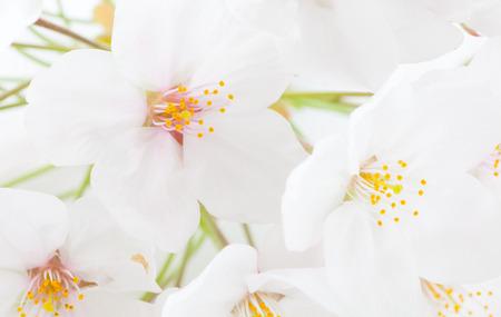 flor de sakura: Close - up hermosa flor de cerezo Sakura de la flor