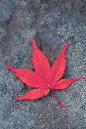 red maple leaf: Red maple leaf fall on natural stone in autumn season