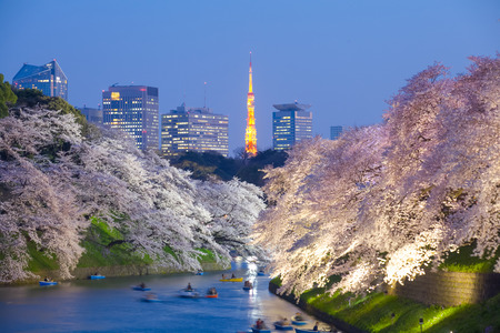 치도리가 후치 도쿄에서 아름 다운 사쿠라 벚꽃 점등 및 도쿄 타워 랜드 마크