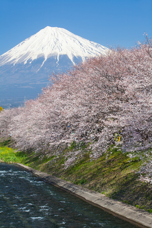 cherry blossom in japan: Beautiful Mountain Fuji and sakura cherry blossom in Japan spring season
