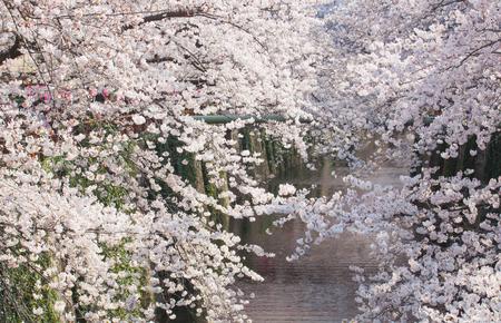 cherry blossom: Beautiful sakura cherry blossom at Nakameguro Tokyo, Japan Stock Photo