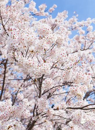 flor cerezo: Hermosa sakura flor de cerezo con bonito cielo azul