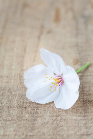flor de sakura: Beautiful cherry blossom sakura flower on wood background
