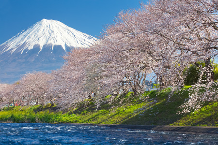 estaciones del a�o: Monta�a Fuji y Sakura de la flor de cerezo en primavera Foto de archivo