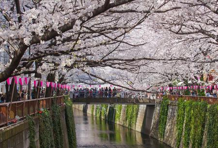 blossoms: Beautiful sakura cherry blossom at Nakameguro Tokyo, Japan Editorial