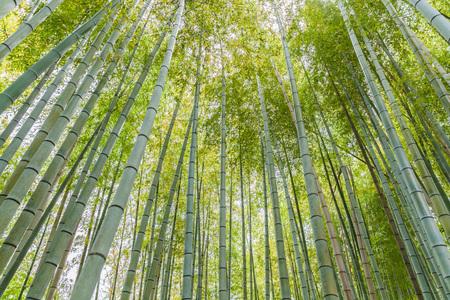 touristy: Beautiful bamboo forest at Arashiyama touristy district , kyoto Stock Photo