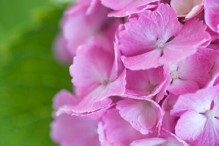 hydrangea macrophylla: Close - up Pink Hydrangea macrophylla flower