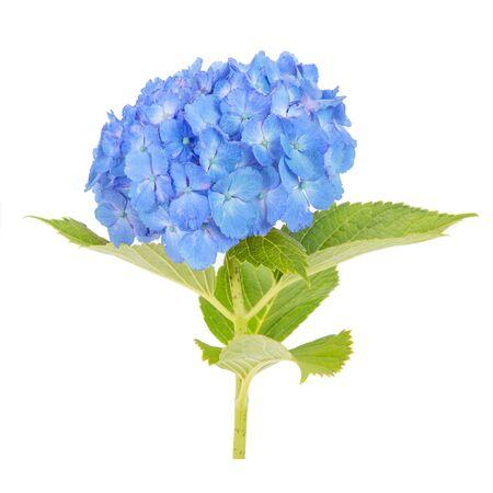 hydrangea macrophylla: Blue Hydrangea macrophylla flower isolated on white background Stock Photo