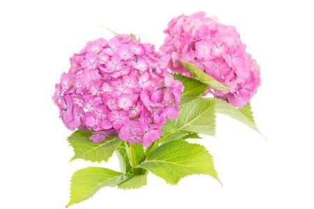 hydrangea macrophylla: Pink Hydrangea macrophylla flower isolated on white background