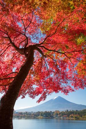 red mountain: Red maple tree and Mountain Fuji at kawaguchiko lake in autumn season