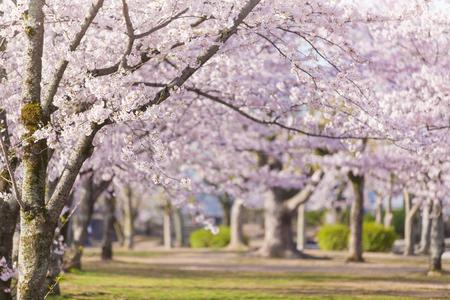 green park: Sakura cherry blossom tree at green park