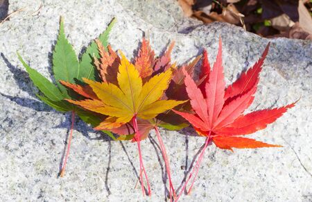 autumn colour: Beautiful colour of Maple leaves in autumn season