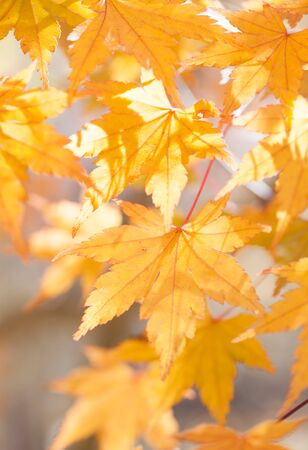 autumn colour: Beautiful colour of Yellow maple leaves in autumn season