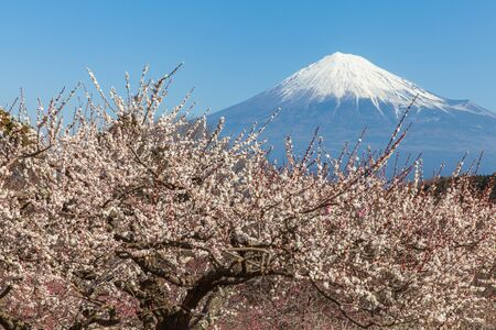 fuji san: Chinese plum flower and Mountain Fuji in spring season