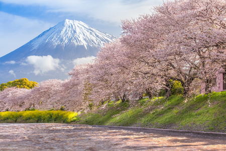 Beautiful Mountain Fuji and sakura cherry blossom in Japan spring season