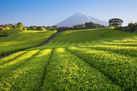 Tea farm and Mount Fuji in spring at Shizuoka prefecture Stock Photo
