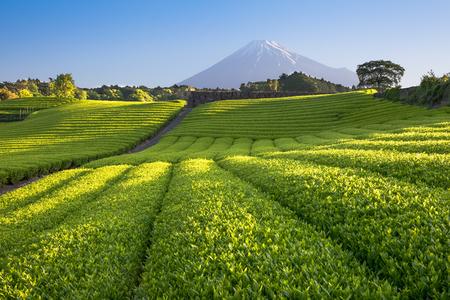 Thee boerderij en Mount Fuji in het voorjaar op Shizuoka Prefecture Stockfoto