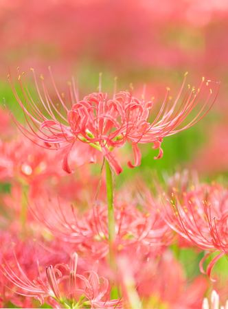 Close - up Red spider lily in autumn