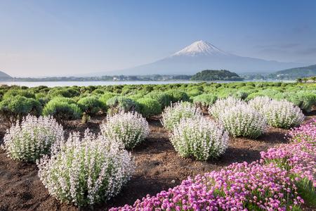 Mt.Fuji and flower field at Lake Kawaguchiko