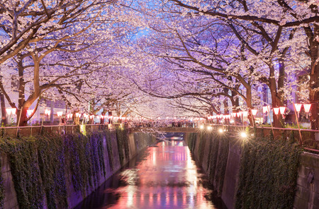 Tokyo sakura cherry blossom with light up at Nakameguro , Tokyo Stock Photo - 93001831