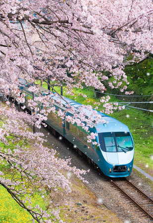Japan train in sakura cherry blossom seasom at Yamakita Town , Kanagawa prefecture