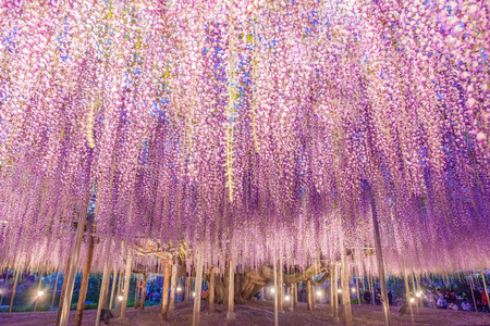 150 years old Great Wisteria at night