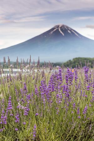 View of Mountain Fuji and lavender fields in summer season at Lake kawaguchiko Stock Photo