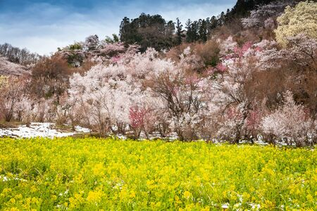 Hanamiyama park is famous during the spring when many kinds of flowers are in bloom