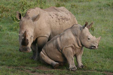 foto de rinocerontes blancos en el medio silvestre